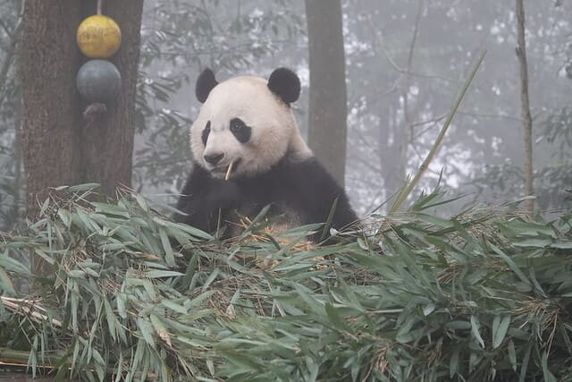 Tata-di-panda